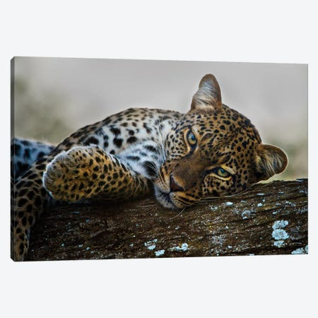Lounging Leopard, Ngorongoro Conservation Area, Crater Highlands, Arusha Region, Tanzania Canvas Print #PIM14039} by Panoramic Images Canvas Art