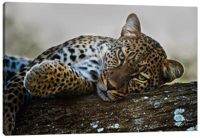 Lounging Leopard, Ngorongoro Conservation Area, Crater Highlands, Arusha Region, Tanzania Canvas Art Print