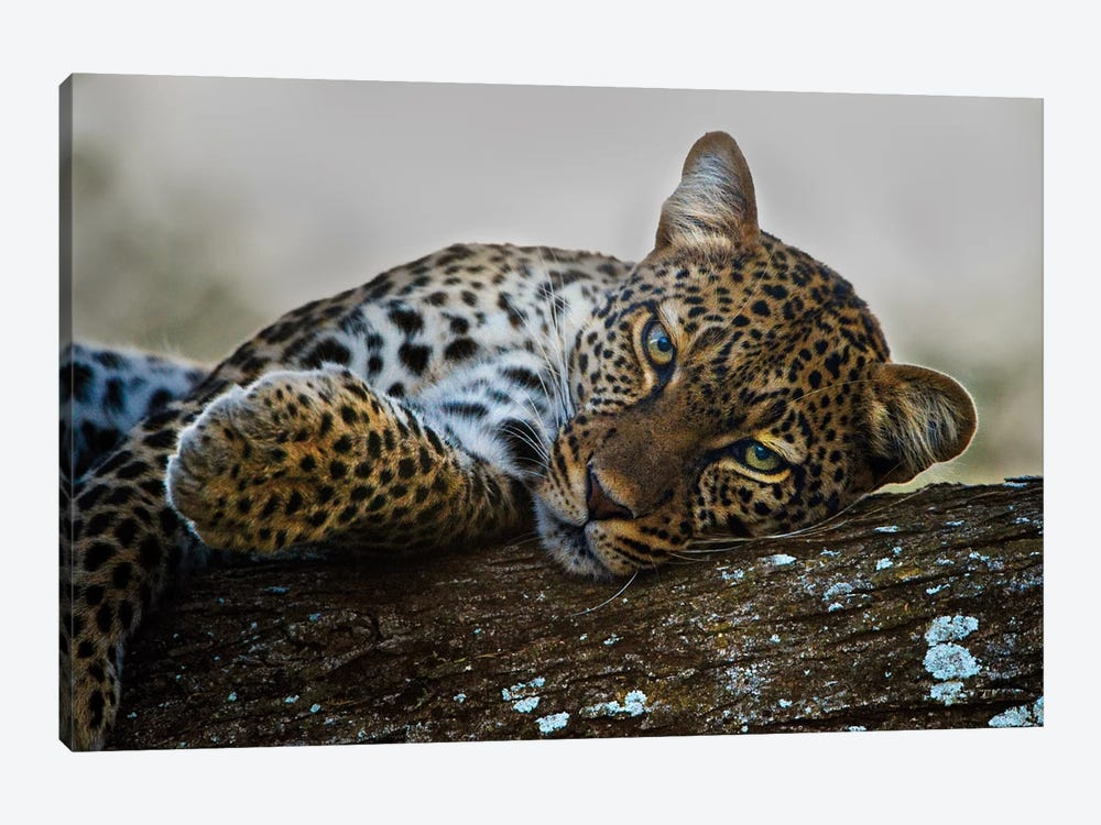 Lounging Leopard, Ngorongoro Conservation Area, Crater Highlands, Arusha Region, Tanzania by Panoramic Images 1-piece Canvas Art