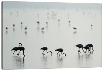 Greater Flamingos II, Ngorongoro Conservation Area, Crater Highlands, Arusha Region, Tanzania Canvas Art Print