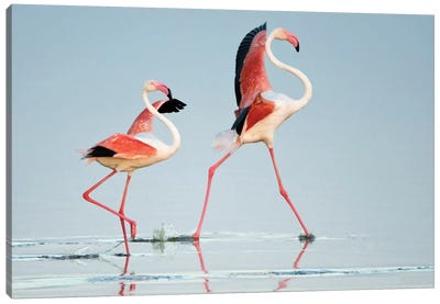 Greater Flamingos III, Ngorongoro Conservation Area, Crater Highlands, Arusha Region, Tanzania Canvas Art Print