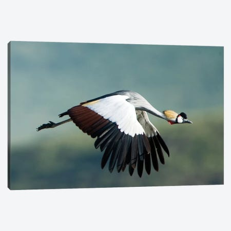 Grey Crowned Crane, Ngorongoro Conservation Area, Crater Highlands, Arusha Region, Tanzania Canvas Print #PIM14043} by Panoramic Images Canvas Art Print