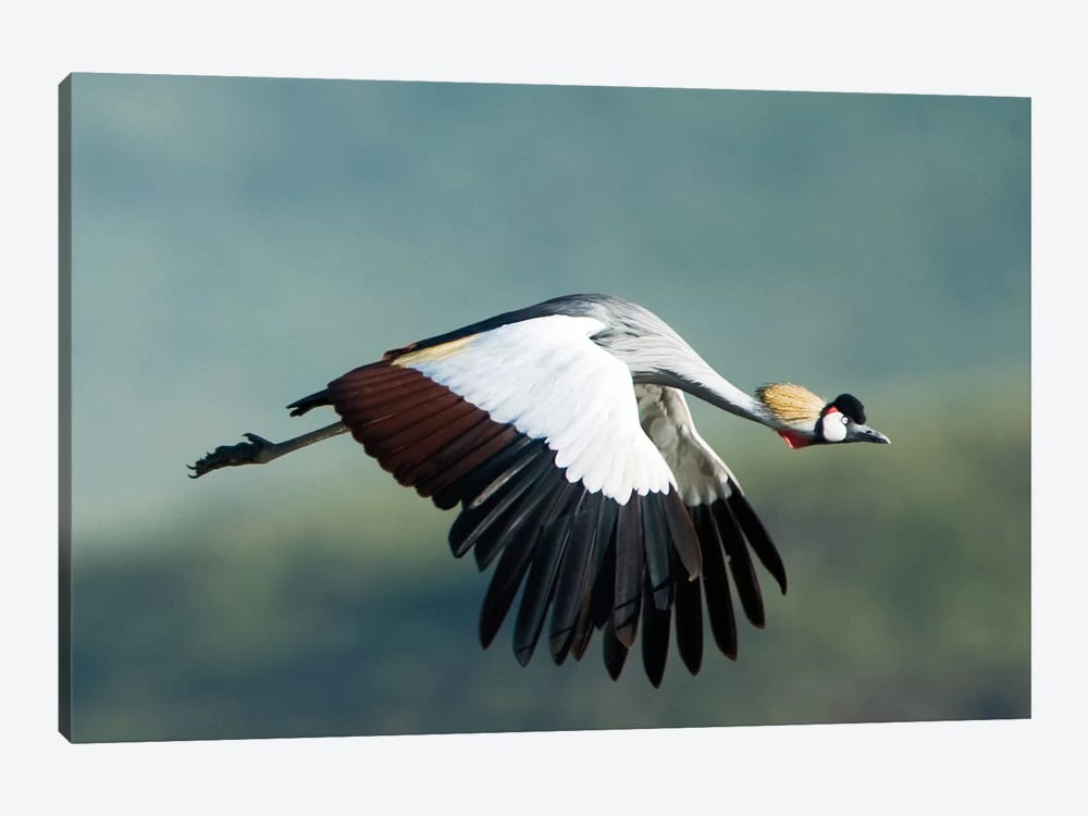 Grey Crowned Crane, Ngorongoro Conservation Area, Crater Highlands, Arusha Region, Tanzania by Panoramic Images 1-piece Canvas Art Print
