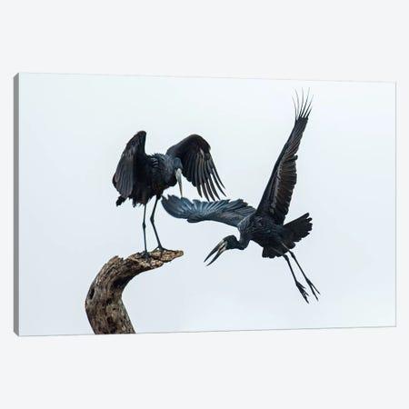 Openbill Storks I, Tarangire National Park, Manyara Region, Tanzania Canvas Print #PIM14044} by Panoramic Images Canvas Art