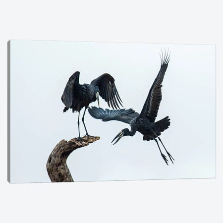 Openbill Storks I, Tarangire National Park, Manyara Region, Tanzania Canvas Print #PIM14044} by Panoramic Images Canvas Art