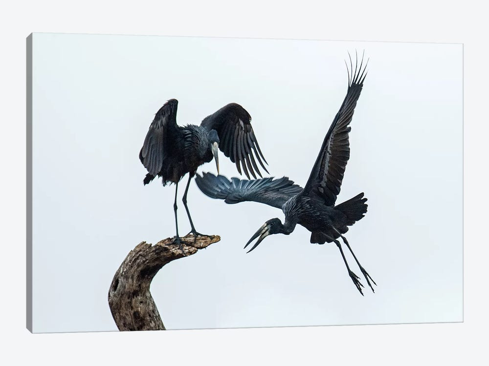 Openbill Storks I, Tarangire National Park, Manyara Region, Tanzania by Panoramic Images 1-piece Canvas Wall Art