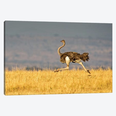 Galloping Ostrich, Ngorongoro Conservation Area, Crater Highlands, Arusha Region, Tanzania Canvas Print #PIM14046} by Panoramic Images Canvas Art