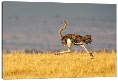 Galloping Ostrich, Ngorongoro Conservation Area, Crater Highlands, Arusha Region, Tanzania Canvas Print #PIM14046