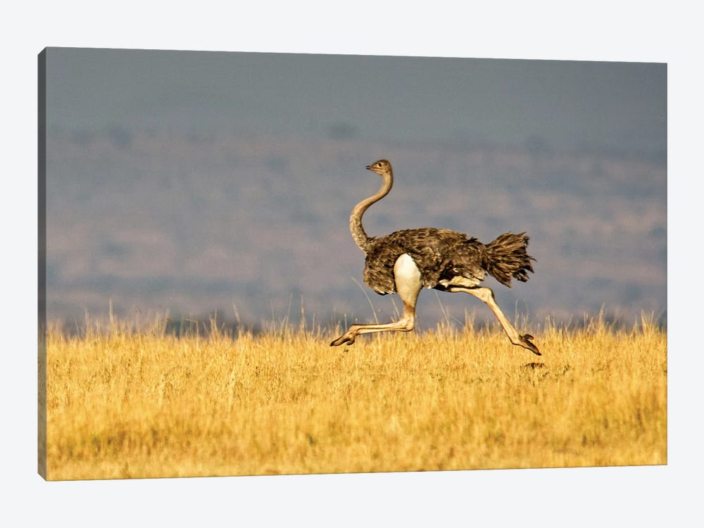 Galloping Ostrich, Ngorongoro Conservation Area, Crater Highlands, Arusha Region, Tanzania by Panoramic Images 1-piece Canvas Art