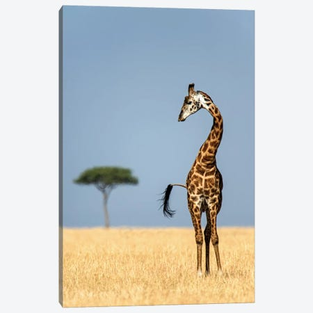 Masai Giraffe, Serengeti National Park, Tanzania Canvas Print #PIM14048} by Panoramic Images Art Print