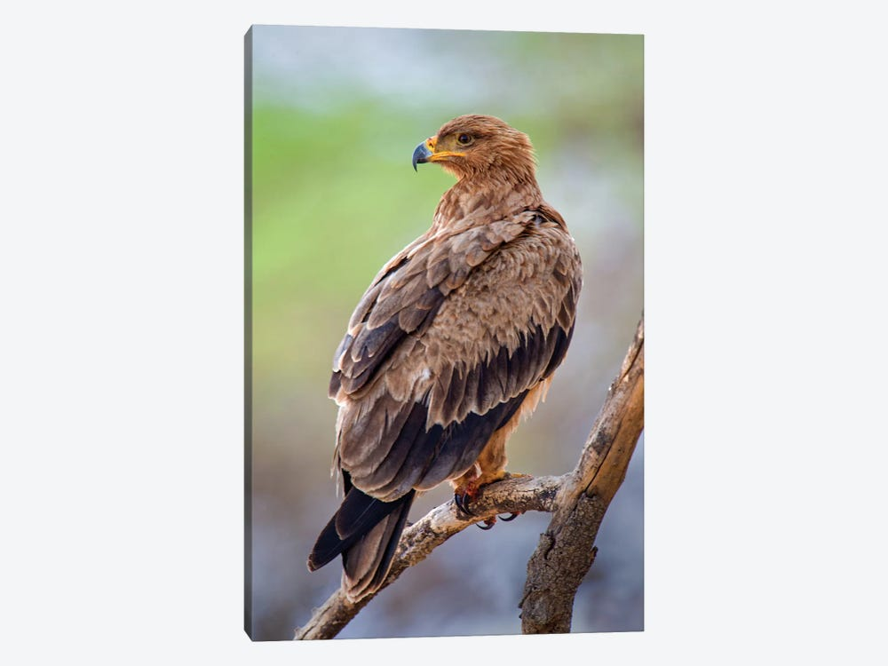 Tawny Eagle, Tarangire National Park, Manyara Region, Tanzania by Panoramic Images 1-piece Canvas Art Print