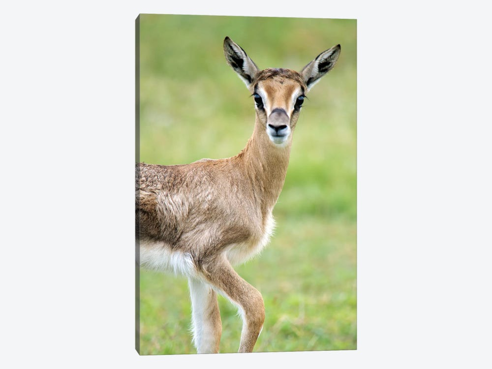 Grant's Gazelle, Lake Manyara, Lake Manyara National Park, Tanzania by Panoramic Images 1-piece Art Print