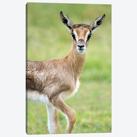 Grant's Gazelle, Lake Manyara, Lake Manyara National Park, Tanzania 3-Piece Canvas #PIM14050} by Panoramic Images Canvas Artwork