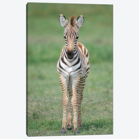 Newborn Burchell's Zebra Foal, Ngorongoro Conservation Area, Crater Highlands, Arusha Region, Tanzania Canvas Print #PIM14051} by Panoramic Images Canvas Art