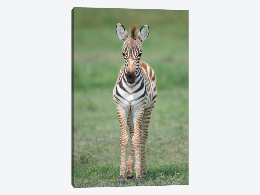 Newborn Burchell's Zebra Foal, Ngorongoro Conservation Area, Crater Highlands, Arusha Region, Tanzania by Panoramic Images 1-piece Canvas Art