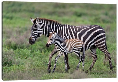 Burchell's Zebra Mare and Newborn Foal, Ngorongoro Conservation Area, Crater Highlands, Arusha Region, Tanzania Canvas Art Print