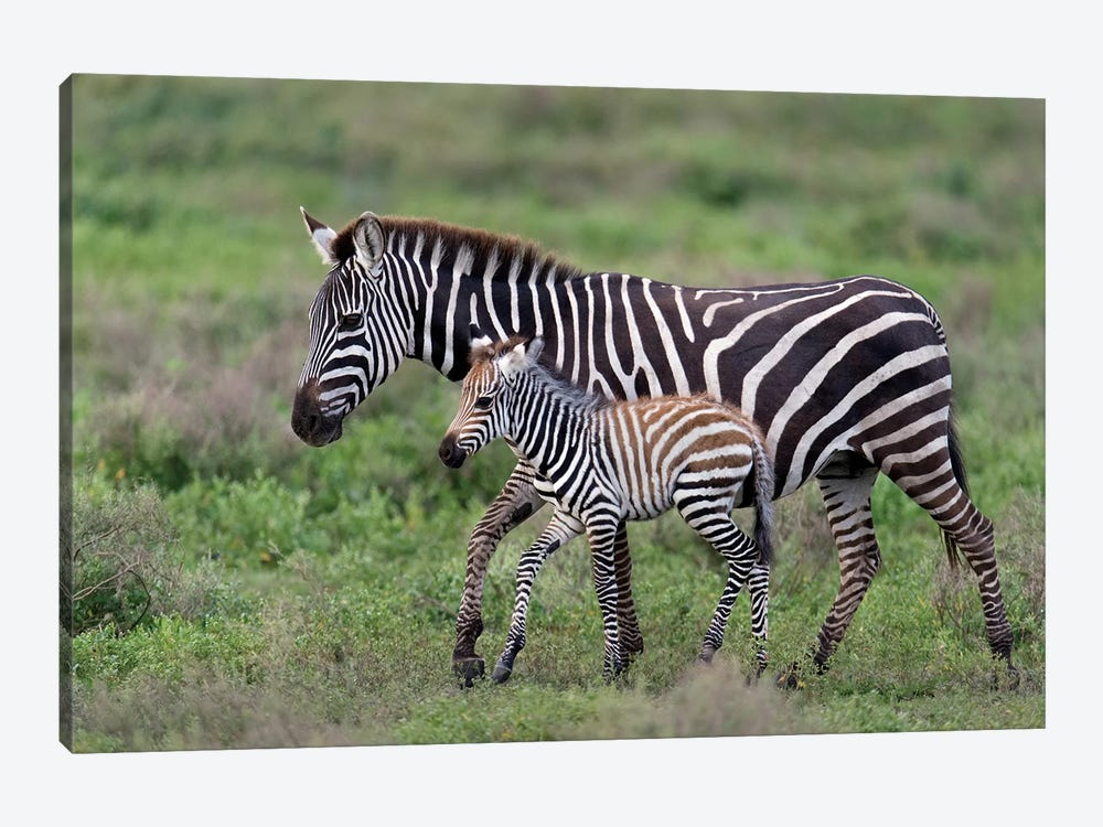 Burchell's Zebra Mare and Newborn Foal, Ngorongoro Conservation Area, Crater Highlands, Arusha Region, Tanzania 1-piece Canvas Art Print