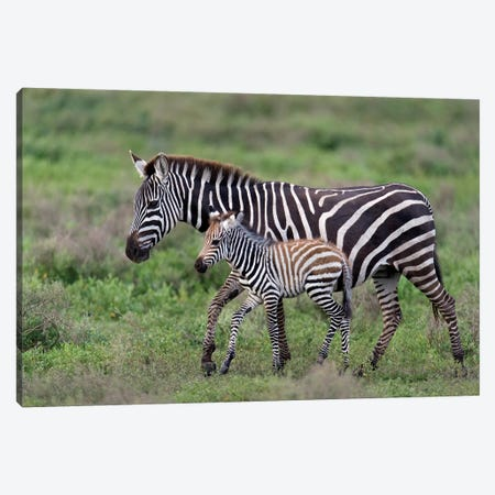 Burchell's Zebra Mare and Newborn Foal, Ngorongoro Conservation Area, Crater Highlands, Arusha Region, Tanzania Canvas Print #PIM14052} by Panoramic Images Canvas Artwork