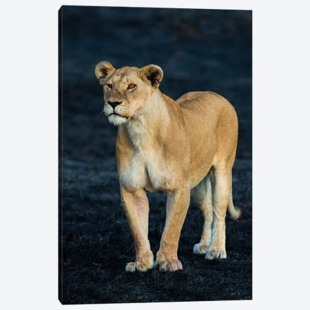 African Lioness, Serengeti National Park, Tanzania Canvas Print #PIM14054} by Panoramic Images Canvas Art Print
