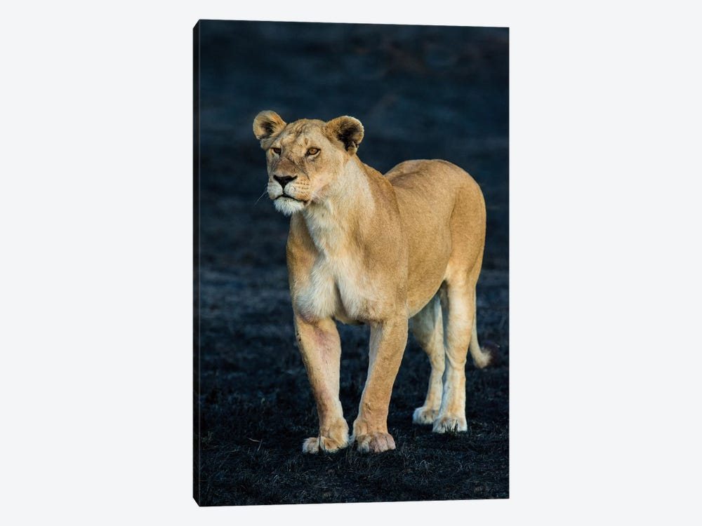 African Lioness, Serengeti National Park, Tanzania by Panoramic Images 1-piece Art Print