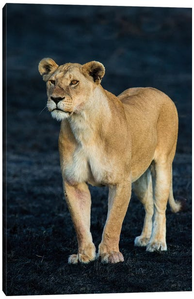 African Lioness, Serengeti National Park, Tanzania Canvas Art Print