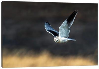 Black-Shouldered Kite, Serengeti National Park, Tanzania Canvas Print #PIM14055