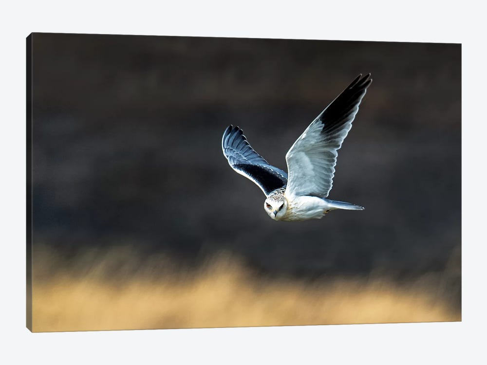Black-Shouldered Kite, Serengeti National Park, Tanzania 1-piece Canvas Wall Art