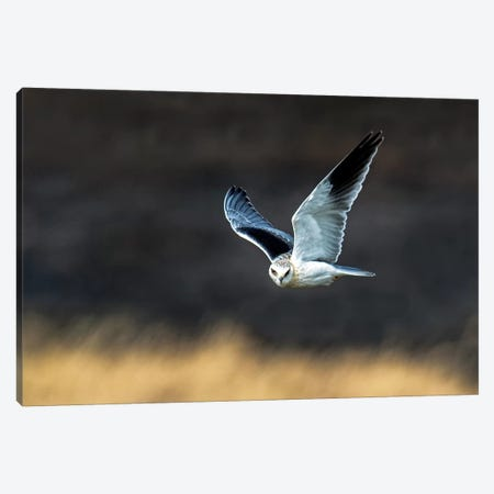 Black-Shouldered Kite, Serengeti National Park, Tanzania 3-Piece Canvas #PIM14055} by Panoramic Images Canvas Print