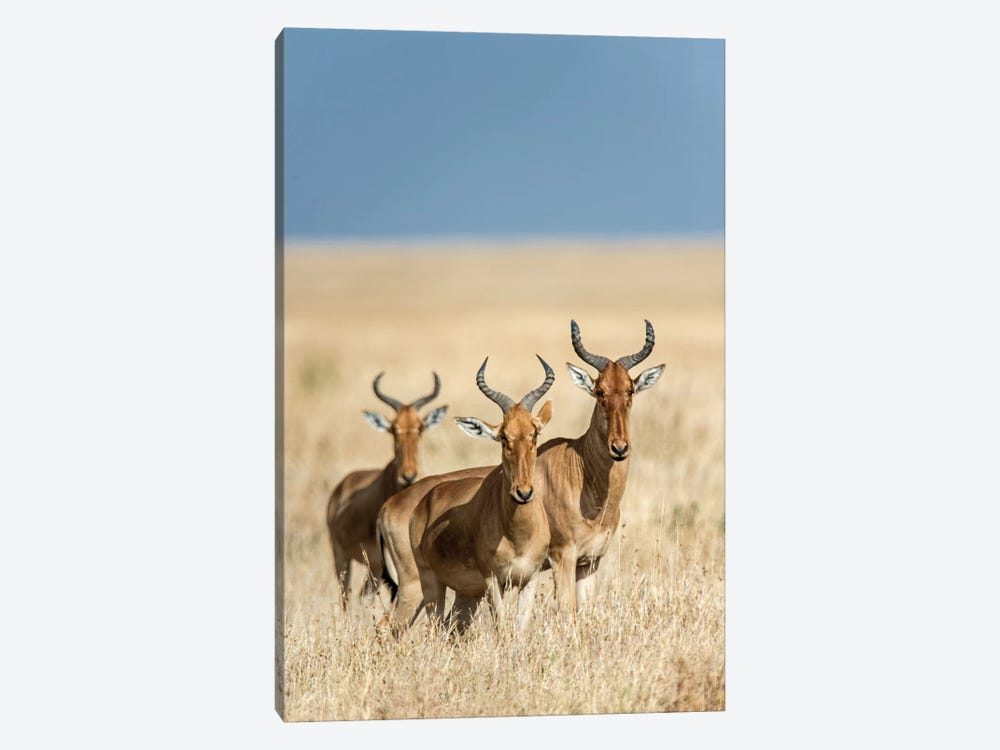 Hartebeests, Serengeti National Park, Tanzania by Panoramic Images 1-piece Canvas Art Print