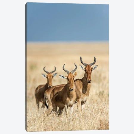 Hartebeests, Serengeti National Park, Tanzania Canvas Print #PIM14056} by Panoramic Images Art Print
