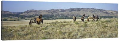 Wild Mustang Herd, Black Hills Wild Horse Sanctuary, Hot Springs, Fall River County, South Dakota, USA Canvas Art Print