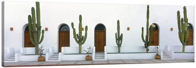 Elephant Cacti (Giant Cardon), Todos Santos, Baja California Sur, Mexico Canvas Art Print