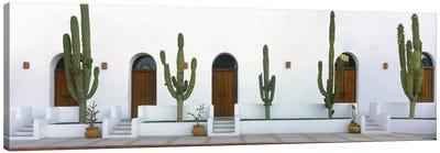 Elephant Cacti (Giant Cardon), Todos Santos, Baja California Sur, Mexico Canvas Art Print