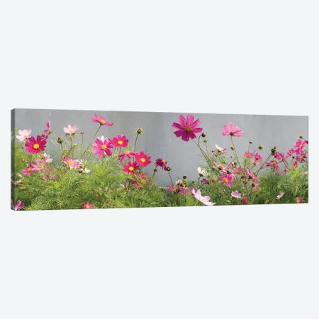 Field of Cosmos Canvas Print #PIM14170} by Panoramic Images Canvas Art Print