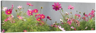 Field of Cosmos Canvas Art Print
