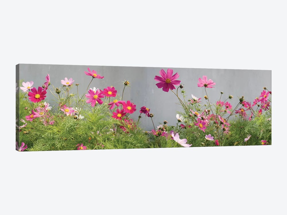 Field of Cosmos by Panoramic Images 1-piece Canvas Art