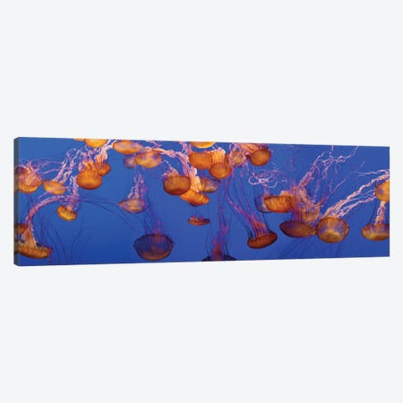 A Bloom of Jellyfish Canvas Print #PIM14176} by Panoramic Images Canvas Art