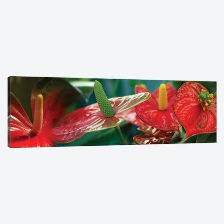 Anthuriums in Zoom Canvas Print #PIM14177} by Panoramic Images Canvas Artwork