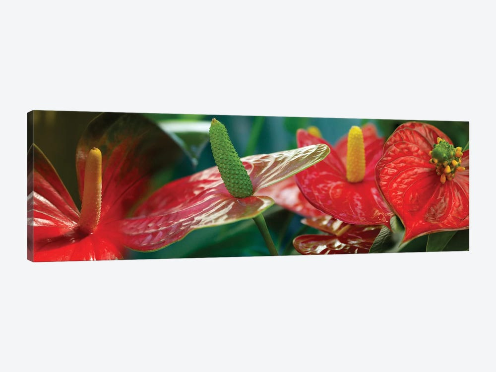 Anthuriums in Zoom by Panoramic Images 1-piece Canvas Print