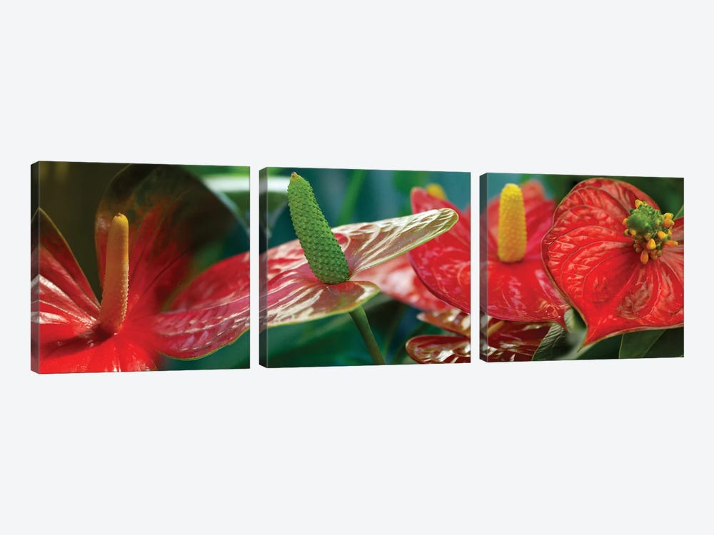 Anthuriums in Zoom by Panoramic Images 3-piece Art Print