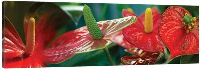 Anthuriums in Zoom Canvas Art Print