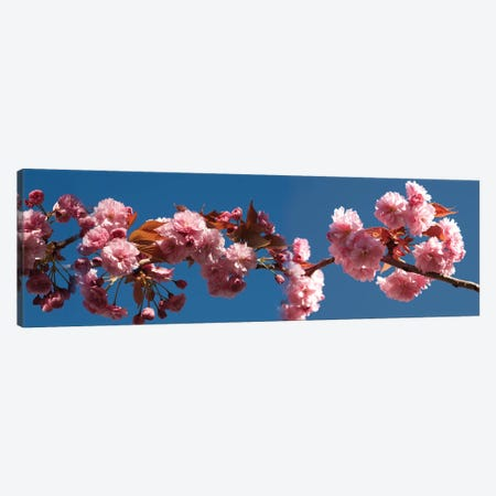 A Branch of Cherry Blossoms Canvas Print #PIM14178} by Panoramic Images Canvas Print