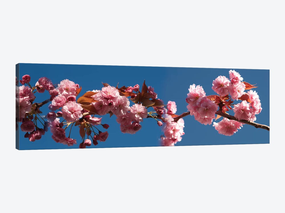 A Branch of Cherry Blossoms by Panoramic Images 1-piece Canvas Wall Art