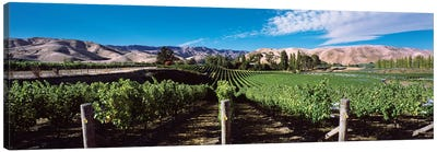 Vineyard, Marlborough Region, South Island, New Zealand Canvas Art Print