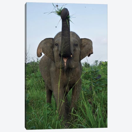 Elephant Calf, Hurulu Eco Park, Hurulu Forest Reserve, North Central Province, Sri Lanka Canvas Print #PIM14191} by Panoramic Images Canvas Print