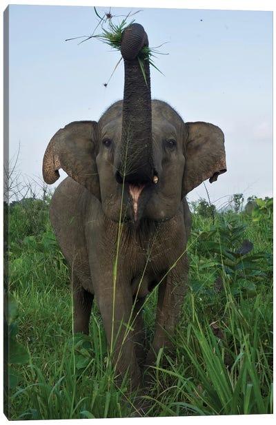 Elephant Calf, Hurulu Eco Park, Hurulu Forest Reserve, North Central Province, Sri Lanka Canvas Print #PIM14191
