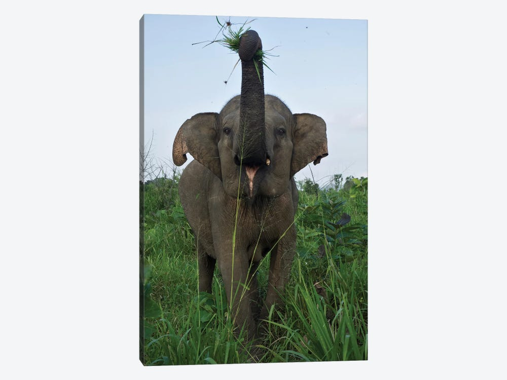 Elephant Calf, Hurulu Eco Park, Hurulu Forest Reserve, North Central Province, Sri Lanka 1-piece Art Print