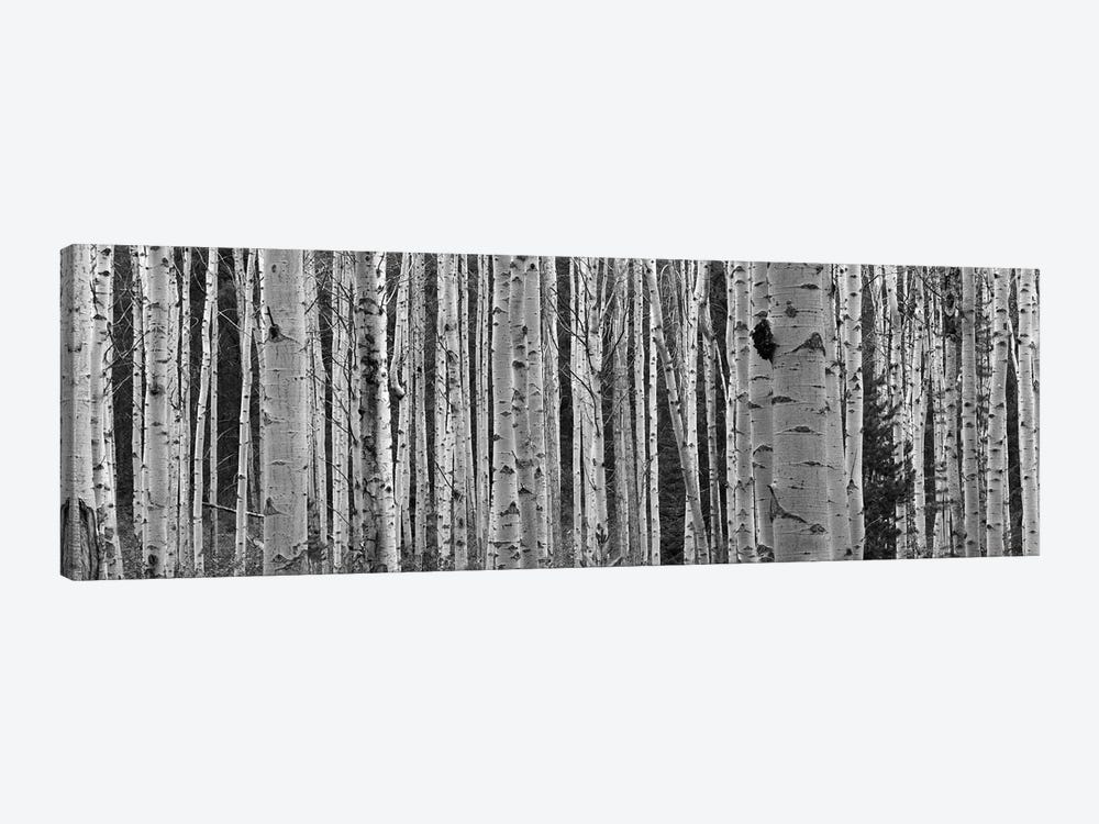 Aspen Trees in Black & White, Alberta, Canada by Panoramic Images 1-piece Canvas Wall Art