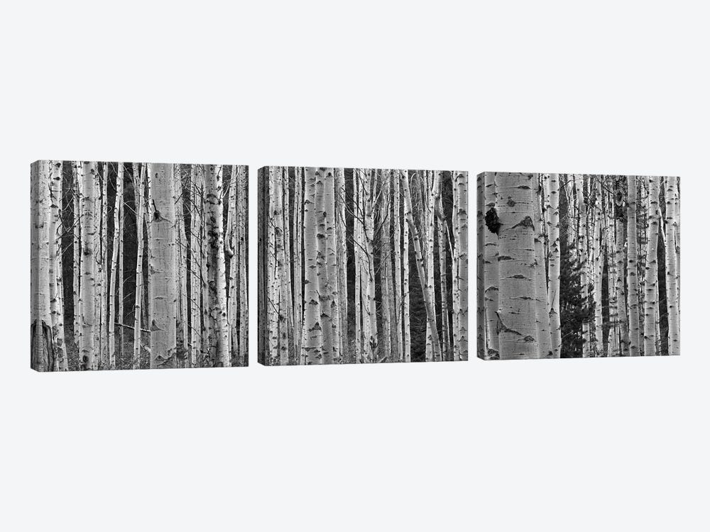 Aspen Trees in Black & White, Alberta, Canada by Panoramic Images 3-piece Canvas Art