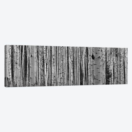 Aspen Trees in Black & White, Alberta, Canada Canvas Print #PIM14192} by Panoramic Images Canvas Art Print